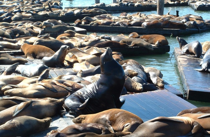 Cal_Sea_Lions_on_Pier_39